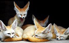 http://khongthe.com/wallpapers/animals/fennec-foxes-87748.jpg