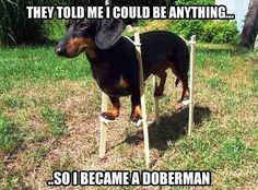 Dachshund wants to be a Doberman. #dogs