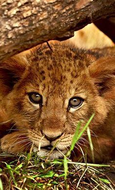 So Sweet, a Lion Cub