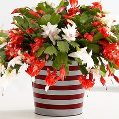 Learn how to make christmas cactus bloom at christmas or in holiday season by… Christmas Cactus Plant, Easter Cactus, Cactus Flower, Cactus Plants, Flower Pots, Christmas Flowers, Succulent Cuttings, Succulents Garden, Plants Delivered