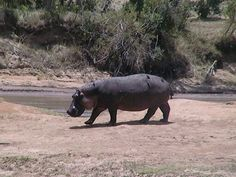 Hippo walkabout