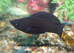 The Green Sailfin Molly is an aquarium strain of hybrid mollies. Description from ryb.mine.nu. I searched for this on bing.com/images