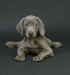 Weimeraner Puppy