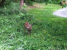 Deer having dinner in my front yard