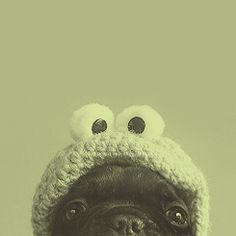 baby pug cookie monster :3