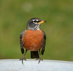 Robin on the Birdbath by KoolPix, via Flickr