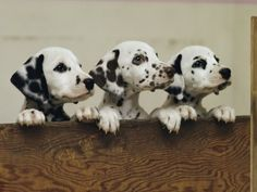 dalmatians...I will get another one someday!