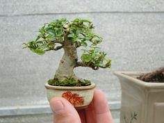 300 Best Mame Bonsai Ideas Mame Bonsai Bonsai Bonsai Tree