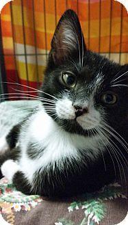 Freeport, NY - Domestic Shorthair. Meet Weeno, a kitten for adoption. http://www.adoptapet.com/pet/11854758-freeport-new-york-kitten