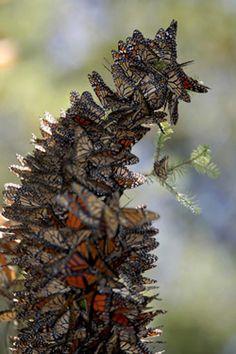 Mariposas monarcas en arbol de oyamel en Mexico. Monarkkiperhonen talvehtii Meksikossa sankoin parvin. Nähty 1995 ja 1997.