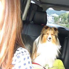 #シェルティ#シェットランドシープドッグ #車で#ヘラヘラ  今度は後ろでヘラヘラしておる(笑)