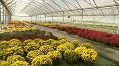 Toussaint : 20 millions de chrysanthèmes vendus… la fleur, une sacrée logistique !