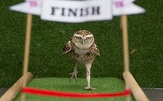 Bob the burrowing owl, star of the London Zoo's daily Animal Athletes in Action demonstration, runs a one hundred centimetre sprint
