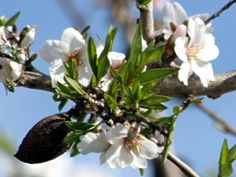 Almond Tree Information | An edible and Medicinal Tree