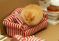 hampster on a hampster couch, sooooooo adorable must buy it for my hampster