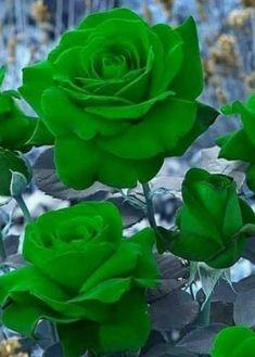 Beautiful Flowers Wallpapers, Beautiful Flowers Garden, Amazing Flowers, Beautiful Roses, Pretty Flowers, Purple Flowers, Rare Roses, Rare Flowers, Exotic Flowers