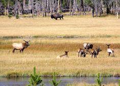 Yellowstone National Park Animals | Wildlife in Yellowstone National Park, Yellowstone Vista