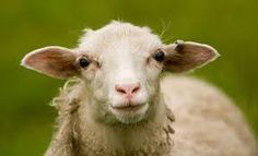 Image result for sheep face portrait close up eye
