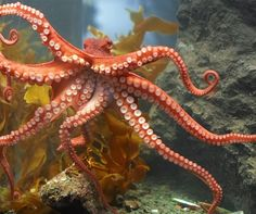 The octopus is a unique underwater creature that evolved more than 600 million years ago. One of the most interesting things about the octopus is. Kraken Octopus, Octopus Squid, Octopus Tentacles, Baby Octopus, Octopus Facts, Octopus Pictures, Octopus Images, Especie Animal, Delphine