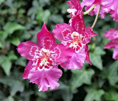 Orchids, Longwood Gardens