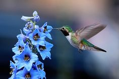 Hummingbird Photos http://media-cache2.pinterest.com/upload/29273466297851747_4nh41odT_f.jpg birdsblooms amazing bird photos