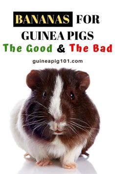 Do guinea pigs eat bananas? The Good And The Bad   what precautions you need to take I how to care for pet guinea pigs I pet baby guinea pig care I small animal care I guinea pig information I information on pet guinea pigs I what to do with pet guinea pigs I things to know about pet guinea pigs I pet guinea pig tips I care tips for pet guinea pigs I small pet homes I guinea pig cages I #guineapigsdiet  #guineapigs #smallpets Guinea Pig Food, Baby Guinea Pigs, Guinea Pig Care, Guinea Pig Information, Banana Nutrition, Banana Contains, Pigs Eating