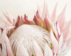 King Protea flower Photography No 119 Fine by NeeksyPhotography #