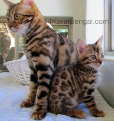 14Karat Bengal offering Top Quality Kittens with the Highest Level of Socialization, Stunning Beauty, Type and Coloration. | Bengal Cats Ben...