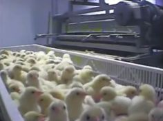 Compassion Over Killing (COK), represented by the Animal Legal Defense Fund (ALDF), finalized a settlement and court order resolving a lawsuit alleging widespread egregious animal abuse and neglect at Cal-Cruz Hatcheries, Inc., a Santa Cruz hatchery that processed millions of birds each year destined for the chicken and duck meat industries.