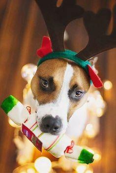 Happy Dog Christmas! - @soniamdogphoto