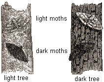 Peppered Moth Natural Selection Gcse