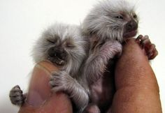 ˚A rare albino Pygmy Marmoset is the world's smallest monkey they reach 13.7 inches in length and weighs up to 3.5 ounces at maturity
