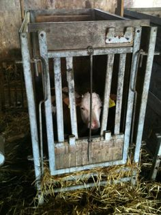 """This is a calf of the dairy industry. This is a veal crate. This little guy is put in here 24-48 hours after birth and will never see his mother again. He'll live in here for a few weeks until he's grown a bit, and then he'll be sent to the slaughterhouse. Calves are kept in these crates so they can't move around, so that their muscles stay """"tender"""" for veal meat. They are fed a formula because humans drink the milk that was meant for them. Don't support the dairy industry. GO VEGAN."""