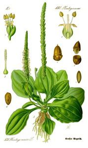 Plantain (Plantago Major) It is also known as Common Plantain, Broadleaf Plantain, Great Plantain, Greater Plantain, Ripple Grass, Plantago Asiatica, Waybread, Waybroad, Snakeweed, Cuckoo's Bread, Englishman's Foot, White Man's Foot,