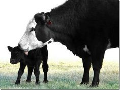 Maman vache et son veau
