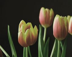 Bloompedia: Happy Birthday Tulips