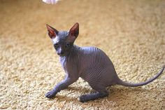 cat breeds with pictures and names | Cute Cats Pictures