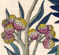 Breadfruit Tree, Mandrakes, and Gnaphalium from bananastrudel