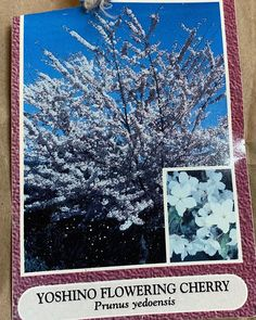 Just found the tag from when we bought the 4 yoshino cherry trees in Yoshino Cherry Tree, Prunus, The 4, When Us, Cherry Blossom, Goodies, Flowers, House, Stuff To Buy