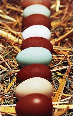 Maran Chickens-chocolate brown eggs