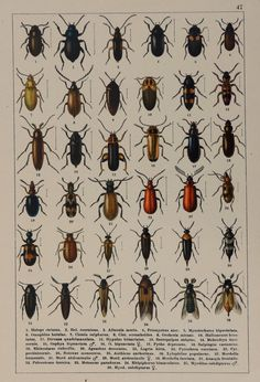 Antique print.Chromolithograph.Color plate. Beetles of Europe. Cleridae family. 1894,Published in Stuttgart by Hofmann. Not a copy(123 years old print) Good Condition.Reverse blank.Good quality paper. Dimension;9.8x6.6 inches or 25x17cm. More similar prints in our shop: https://www.etsy.com/your/shops/CastafioreOldPrints/sections/13518871 Shipment in rigid envelope. Only pay shipping for the first item. Thank you for your visit