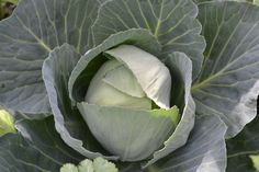 The cabbages are hearting up very nicely....yummo!!