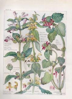 Yellow Archangel - Wild Flower Botanical Print by Isabel Adams Antique Print in Art, Prints, Antique (Pre-1900) | eBay