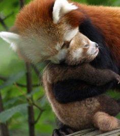Maman & bb panda roux