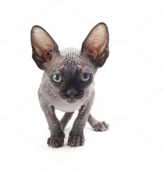 kitten sphinx by Liliia Rudchenko  on Creative Market