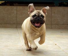 MOZART 3,5 months old puppy CONTACT:Facebook/Bosphorus Bulls