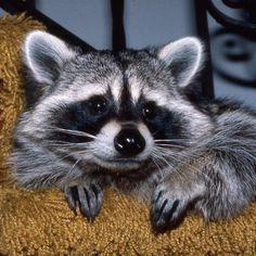 raccoon | History of Stanleigh The Raccoon Raccoon Costume, Ferret, Fox, Costumes, History, Halloween, Animals, Historia, Animales