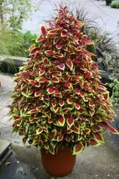 Good article on Coleus (my new favorite for containers) including care, how to take cuttings in the fall and grow indoors over the winter, shaping
