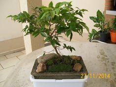 bonsai de jabuticaba