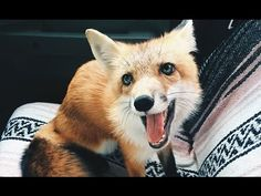 Meet Juniper, the Domesticated Fox That's so Adorable She'll Melt Your H...